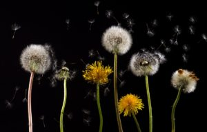 An image of dandelions in the two forms - yellow flowers and white puffs against a black background.  Several white seeds from the puffs are floating up in the air.  These are responsible for triggering allergies.