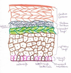 A hand-drawn and colored sketch of the layers of the epidermis, with labeled parts.  Sunscreen protects this layer.
