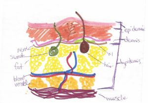 A hand-drawn and colored sketch of the skin layers, with labeled parts.
