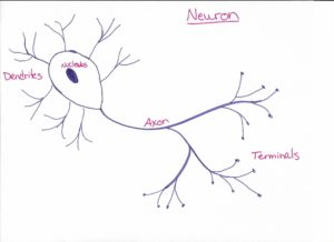 a hand-drawn sketch of a basic neuron with labeled parts. This makes up white matter and grey matter in the brain.
