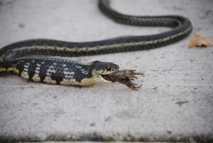 An image of a striped snake with black top scales and yellow underbelly scales slithering through sand. The snake has had no difficulty swallowing a rather large animal that has stretched out the rounded body behind the head with the last bit of the animals feet sticking out of the snake's mouth.